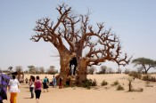 Baobab tree, Dakar, Senegal.