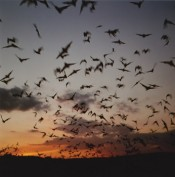 "Jeremy Deller, ""Exodus of bats at dusk, Frio Caves Texas,"" 2011.  © the artist. Image courtesy the artist."