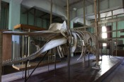 Armando Lulaj, It Wears as It Grows, 2011. Original Cachalot skeleton as displayed at the former Natural HistoryMuseum in Tirana. © Armando Lulaj.