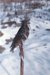Lois Weinberger, Frozen Starling, 1996. Photo. Courtesy the artist.